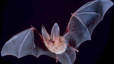 تصویر از خفاش و کورنا